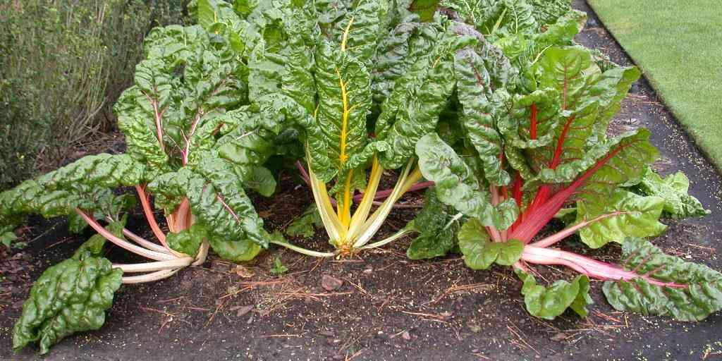 Что такое листовая свекла, как еще называется овощ? применение, технология выращивания и хранение