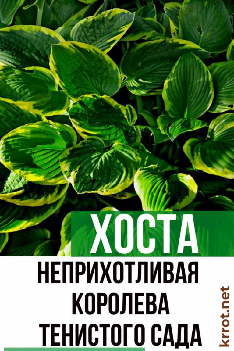 Хоста «белое перо»: описание, рекомендации по выращиванию и размножению