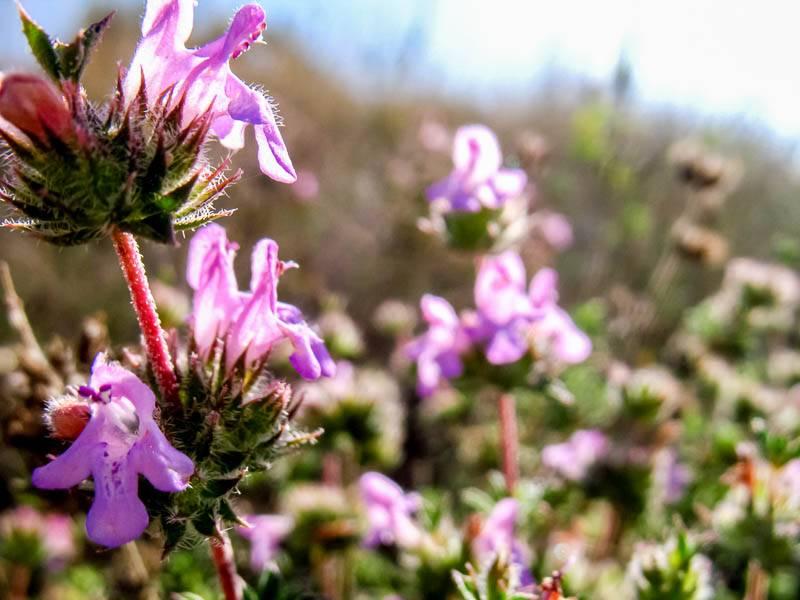 Полувечнозеленый чабер горный: описание, отличие от других видов, выращивание, уход и борьба с вредителями