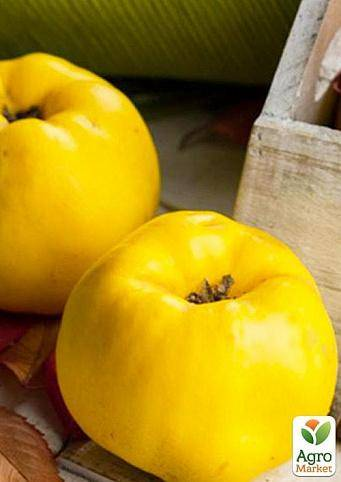 Плоды какой айвы хранятся до весны. айва японская выращивание и уход подкормка обрезка размножение. как правильно собрать плоды для хранения