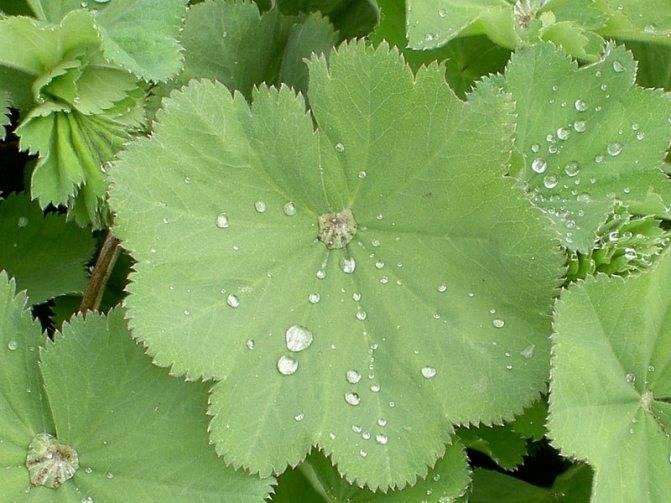 Трава манжетка: лечебные свойства и применение