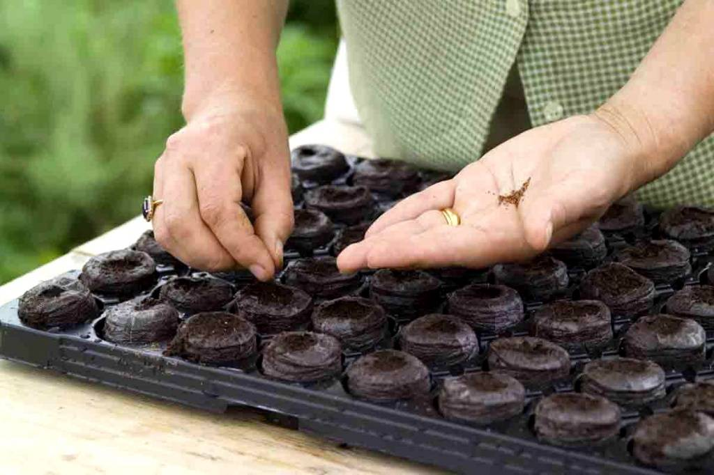 Инструкция по выращиванию баклажанов от а до я