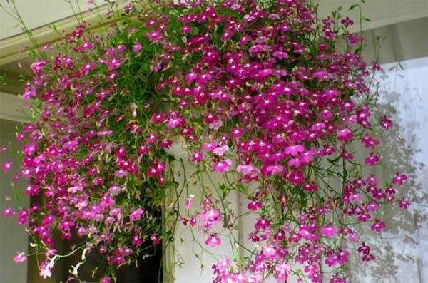 Правила обрезки сортов спиреи, цветущих летом