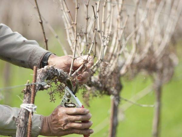 Обрезка винограда: как правильно производить обрезку виноградников своими руками (115 фото)