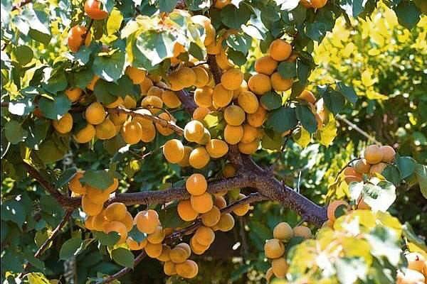 Всё об абрикосе триумф северный: описание сорта, особенности посадки и ухода