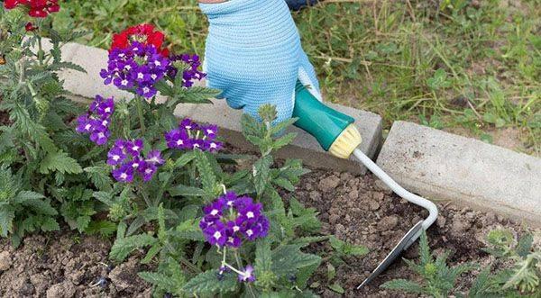 Полезная информация о дикорастущем растении вербене лекарственной: фото, лечебные свойства, применение и особенности выращивания