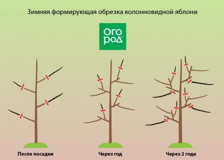 Посадка и уход за колоновидной яблоней