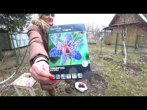 Цветок трициртис – посадка и уход: почва, размножение. виды и выращивание трициртиса