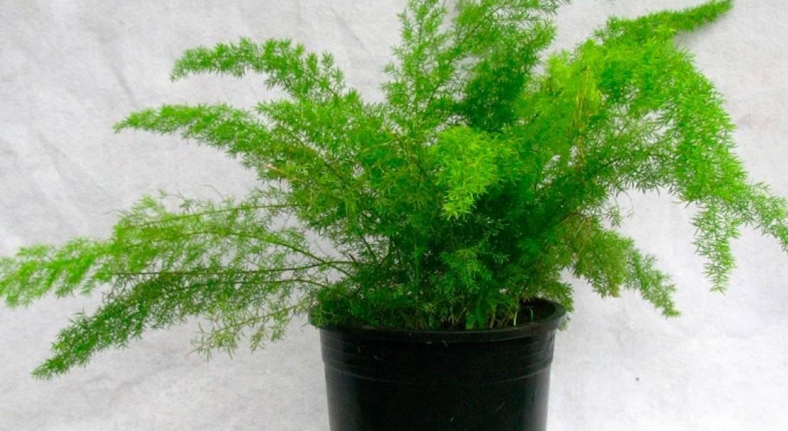 Мастер-класс по выращиванию аспарагуса из семян в домашних условиях