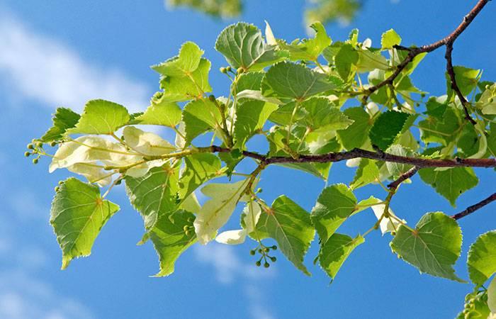 Сорта липы: небольшая подборка компактных и оригинальных деревьев для сада