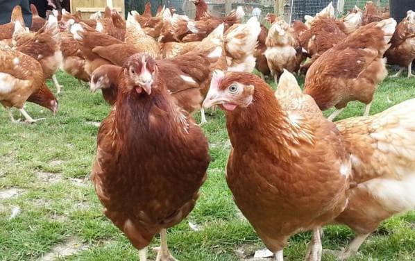 Особенности кладки яиц курами-молодками: сроки, яйценоскость, продолжительность, повышение количества и качества яиц