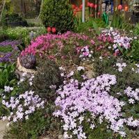 Форзиция – кустарник, приближающий весну