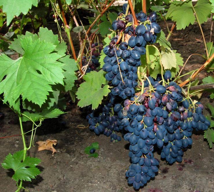 Посадка и выращивание винограда на урале: 5 советов и пошаговая инструкция