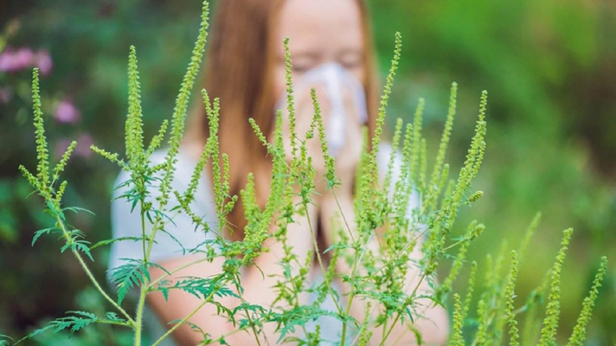 Амброзия растение аллергия