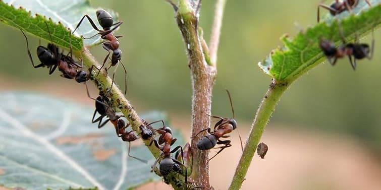 Помощники в борьбе с тлей: кто ест вредителей, а также что еще используется для уничтожения?