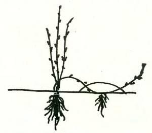 Правила размножения крыжовника черенками и другими способами