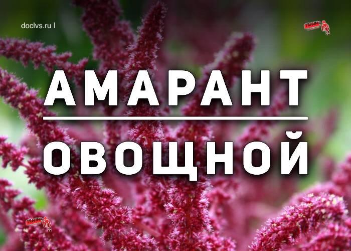 Как вырастить из семян амаранта