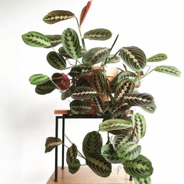 Цветок маранта — уход в домашних условиях