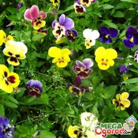 Цветы виола: особенности выращивания на садовом участке