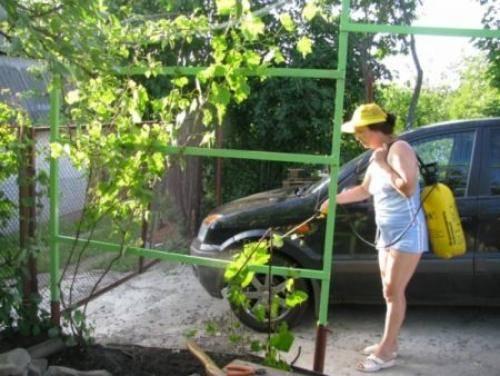 Железный купорос для винограда — секреты обработки
