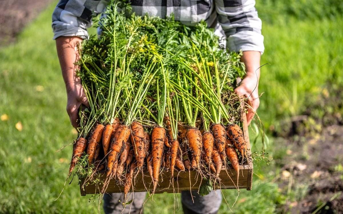 7 секретов выращивания моркови в открытом грунте