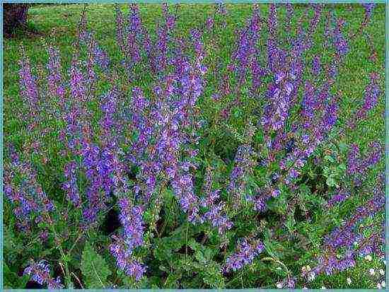 Выращивание шалфея дубравного, его лечебные свойства и противопоказания