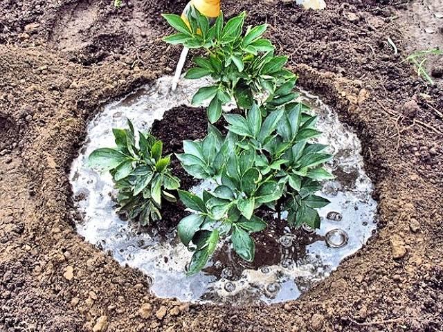 Чем подкормить пионы: выбор удобрения в разные периоды