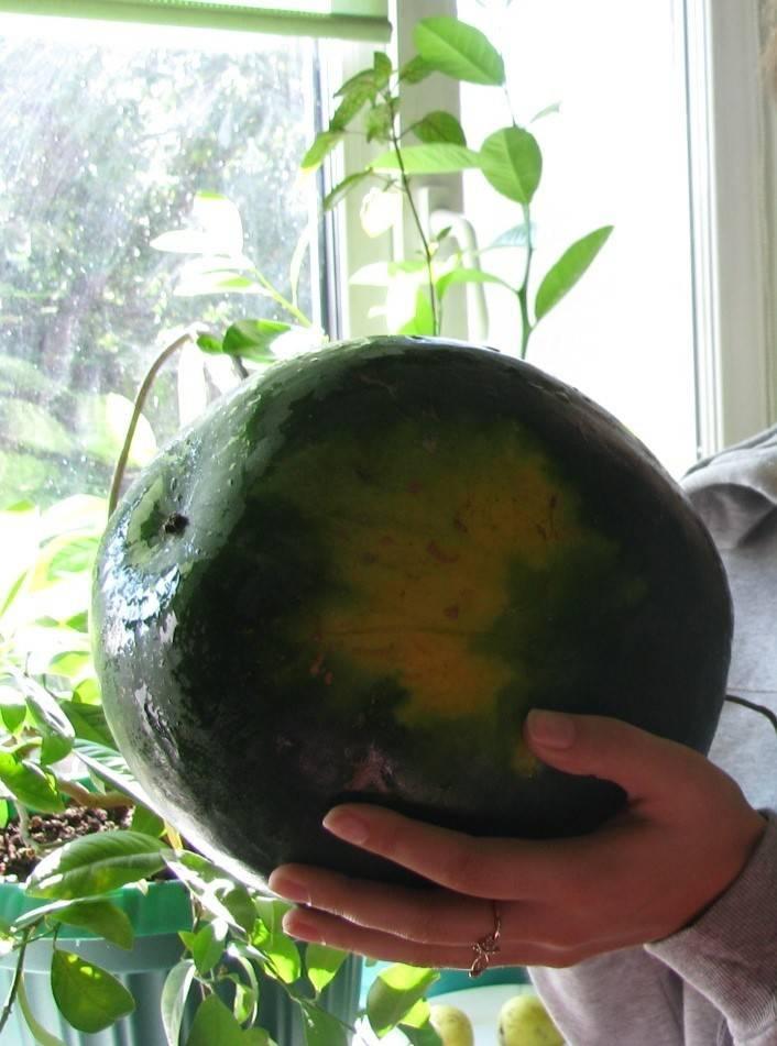 Высадка арбузов в открытый грунт: переезд с комфортом