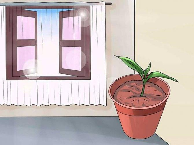 Уход за фуксией в домашних условиях