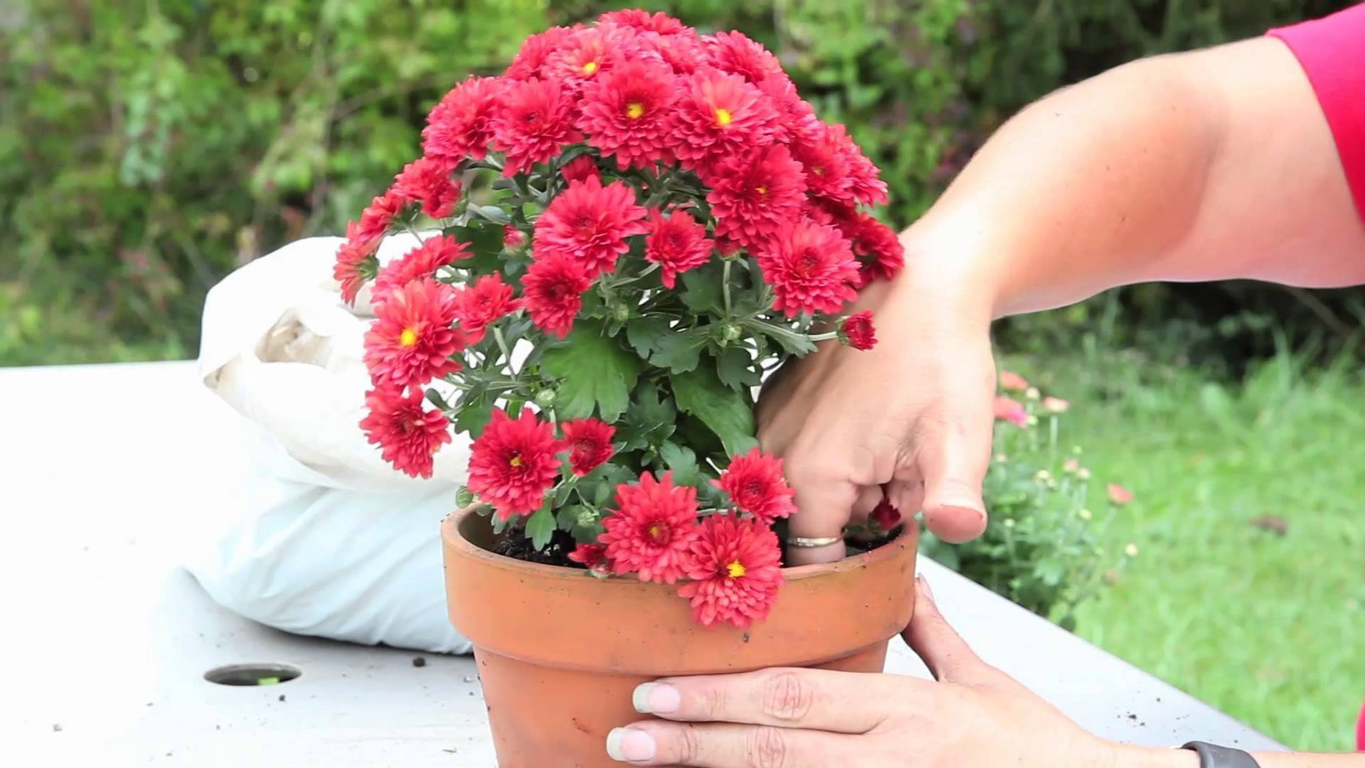 Бордюрные и низкие хризантемы — фавориты этой осени