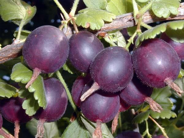 Крыжовник «командор»: описание сорта и секреты успешного выращивания