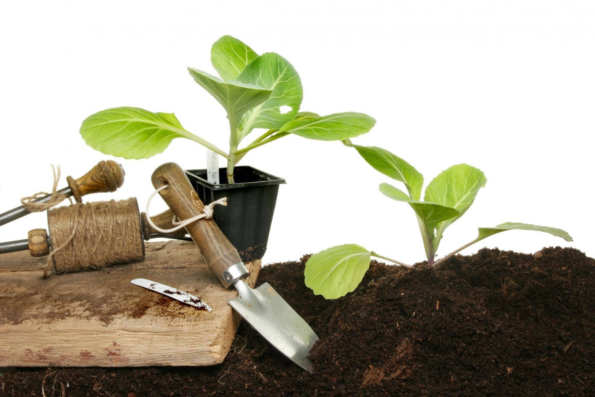 Сажаем капусту на рассаду: сроки посадки в зависимости от сорта