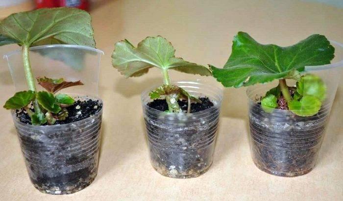 Лучшие способы вегетативного размножения бегонии: черенки, листики