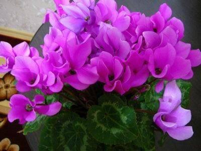 Советы опытных цветоводов: как поливать цикламен, чтобы он украшал дом всю зиму?