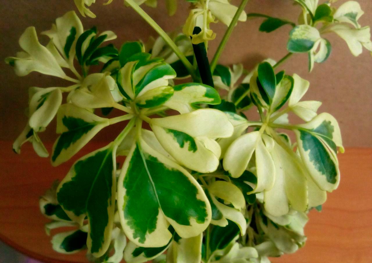 Шеффлера уход за цветком в домашних условиях