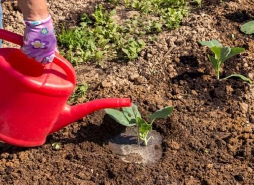 Подкормка рассады капусты после всходов и пикировки