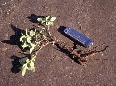 Дербенник блаш, описание и выращивание растения, видео