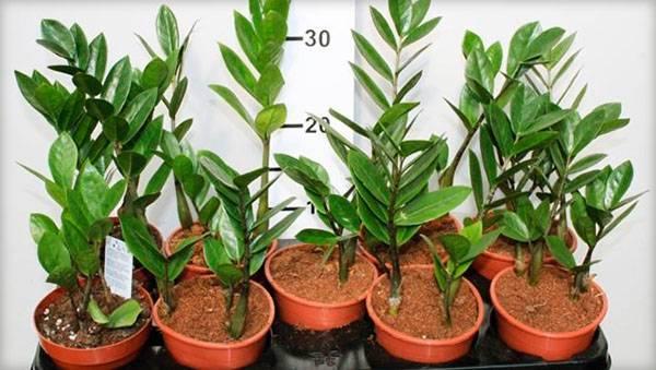Размножение замиокулькаса: листом и другими способами