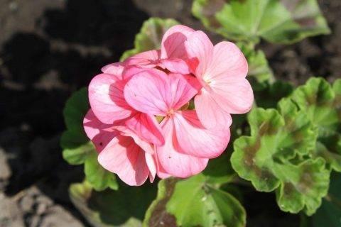 Как вырастить пеларгонию (герань) из семян в домашних условиях: посадка и уход в открытом грунте