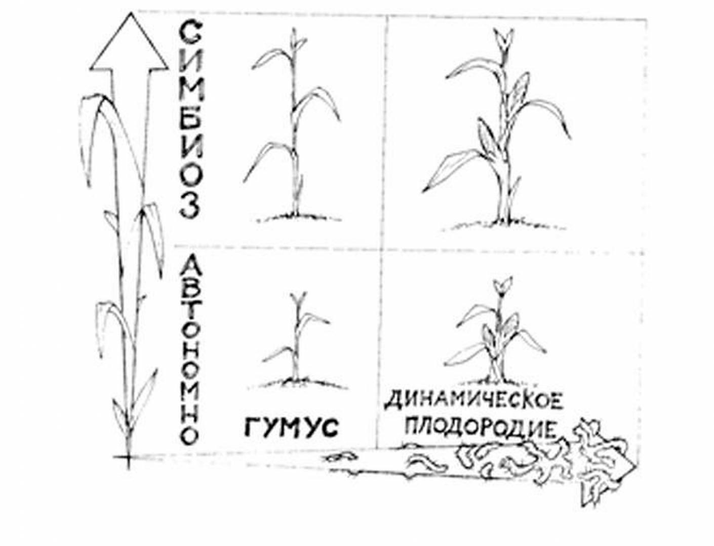 Удобрения и микроудобрения для подсолнечника: виды, как вносить