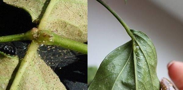 Белый налет на комнатных растениях: причины, виды и методы борьбы