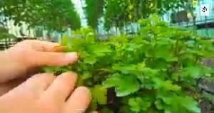 Как вырастить рассаду хризантем - видео