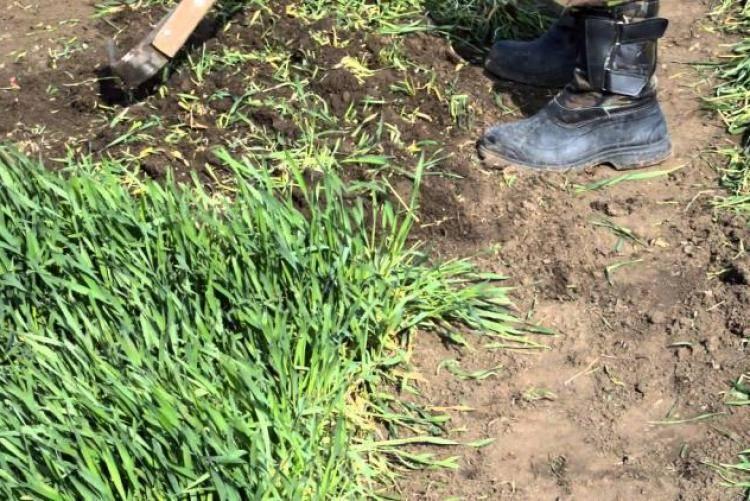 Лучшие сидераты перед картошкой для улучшения почвы