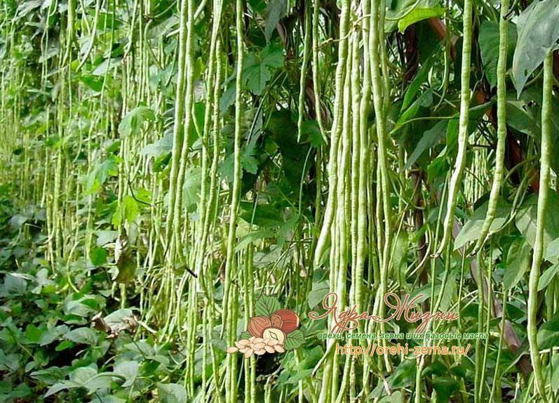 Фасоль спаржевая: выращивание и уход