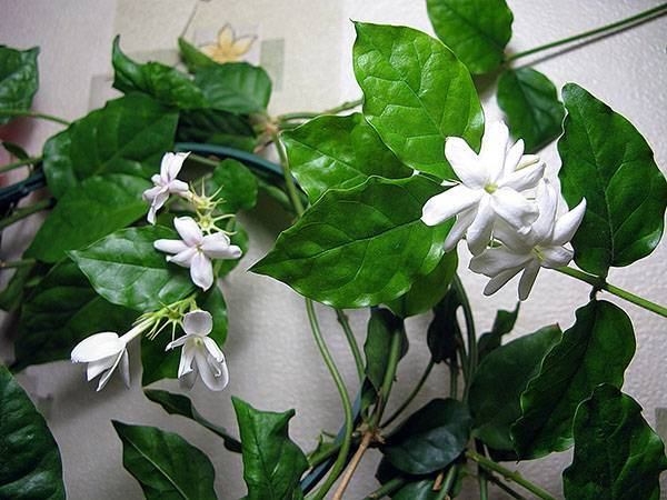 Тонкости выращивания и ухода за жасмином Самбак