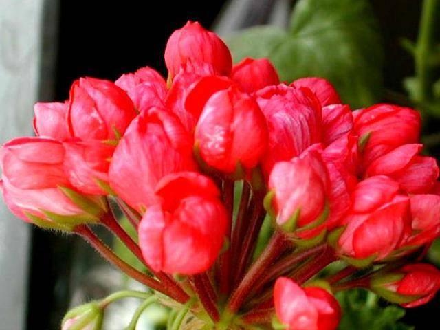 Знакомство с геранью: виды садовой и комнатной пеларгонии