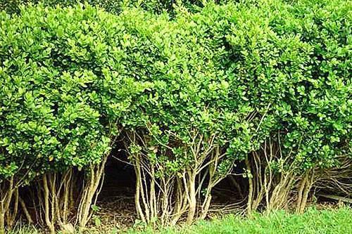 Самшит – вечнозеленый долгожитель для подмосковья и не только