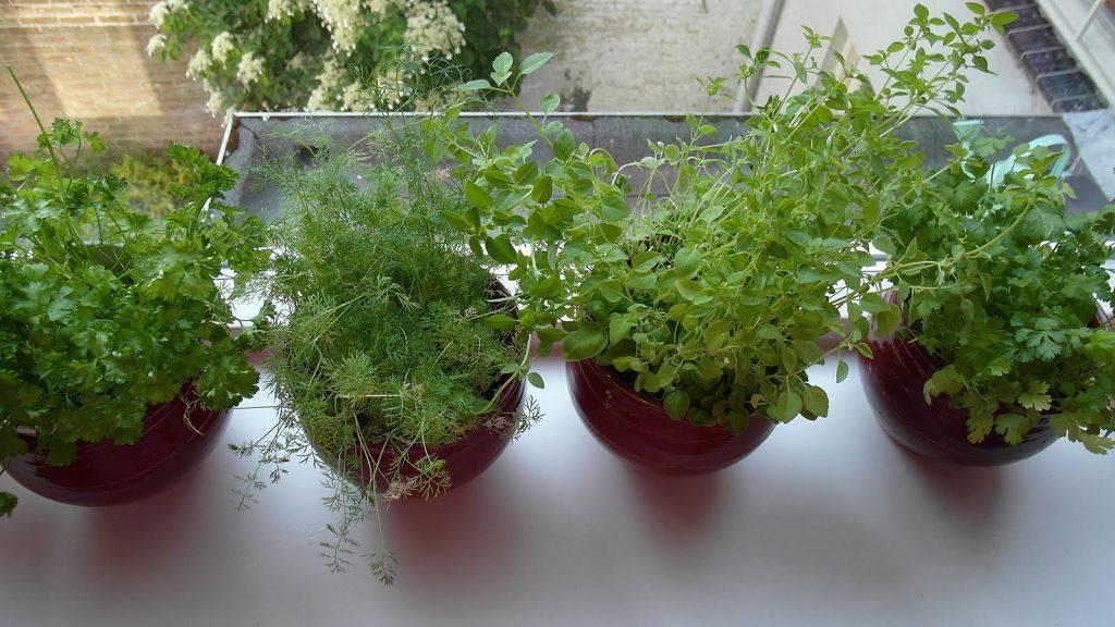 Зелень круглый год. особенности выращивания укропа из семян на подоконнике