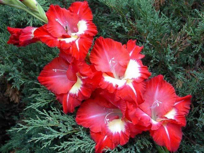 Как выращивать гладиолусы: секреты раннего цветения