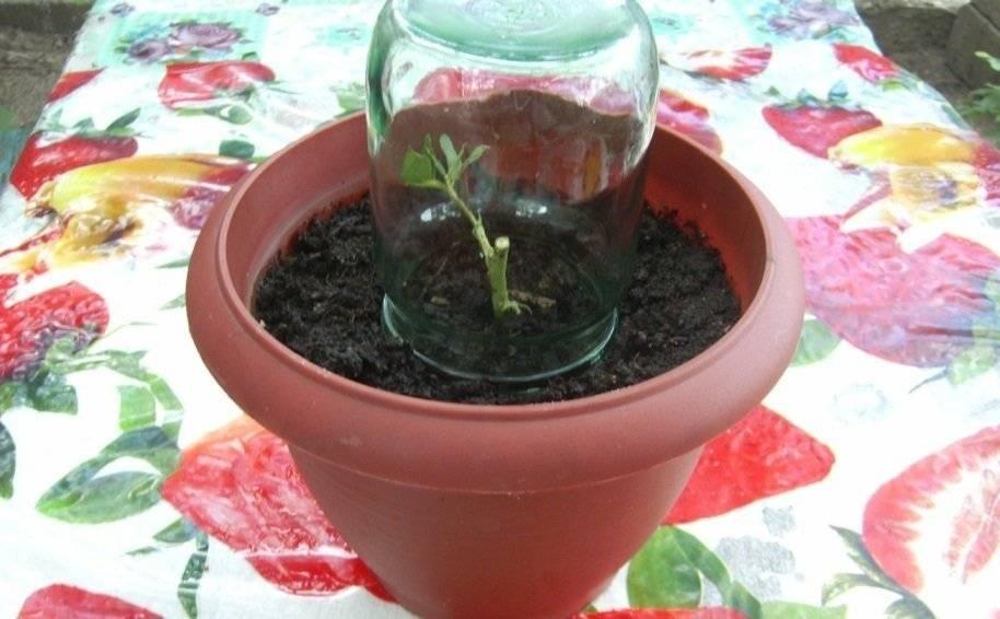 Выращивание алоэ в домашних условиях: как посадить без корней или отростком, как поливать